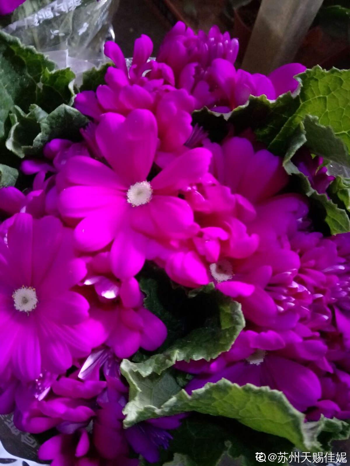 红白花的爪叶菊