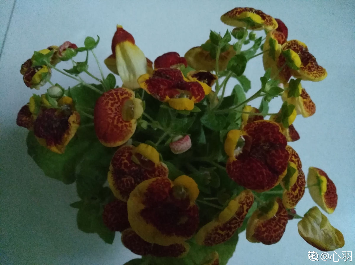美丽蒲包花