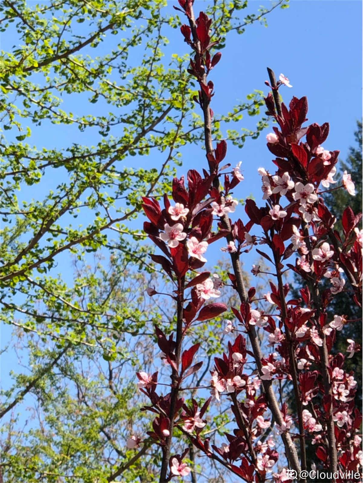 一树矮樱花