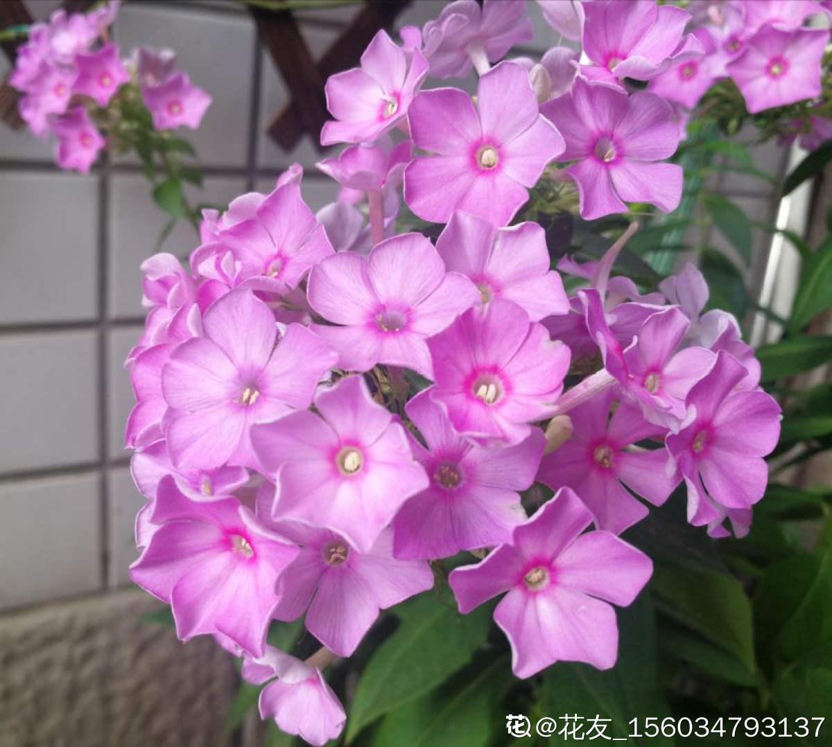 紫色福禄考