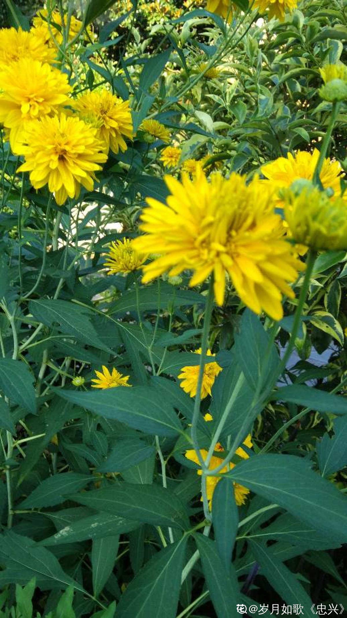 花枝招展的重瓣金光菊