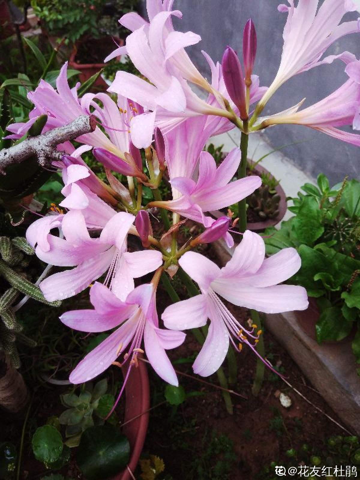 夏水仙花朵