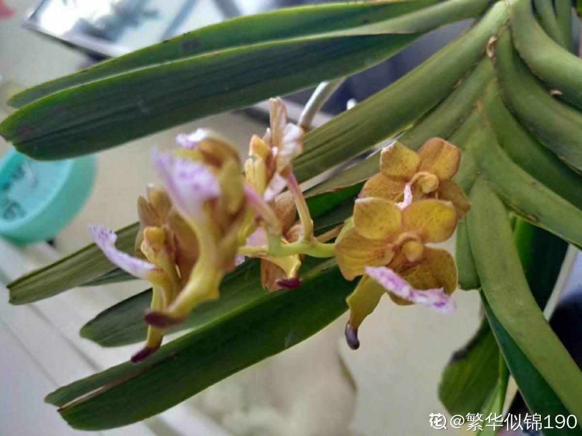 花团锦簇指甲兰