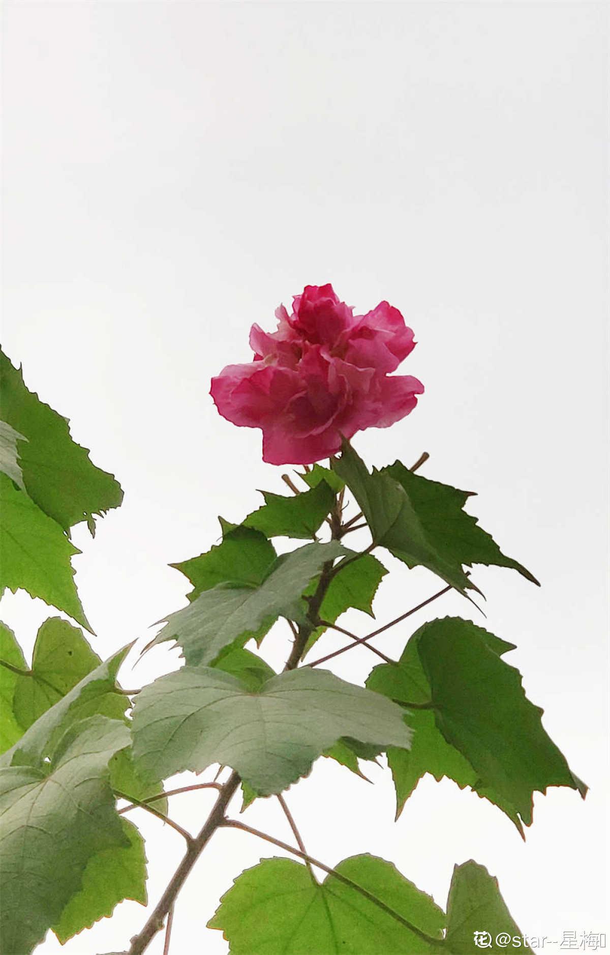 雨后木芙蓉花