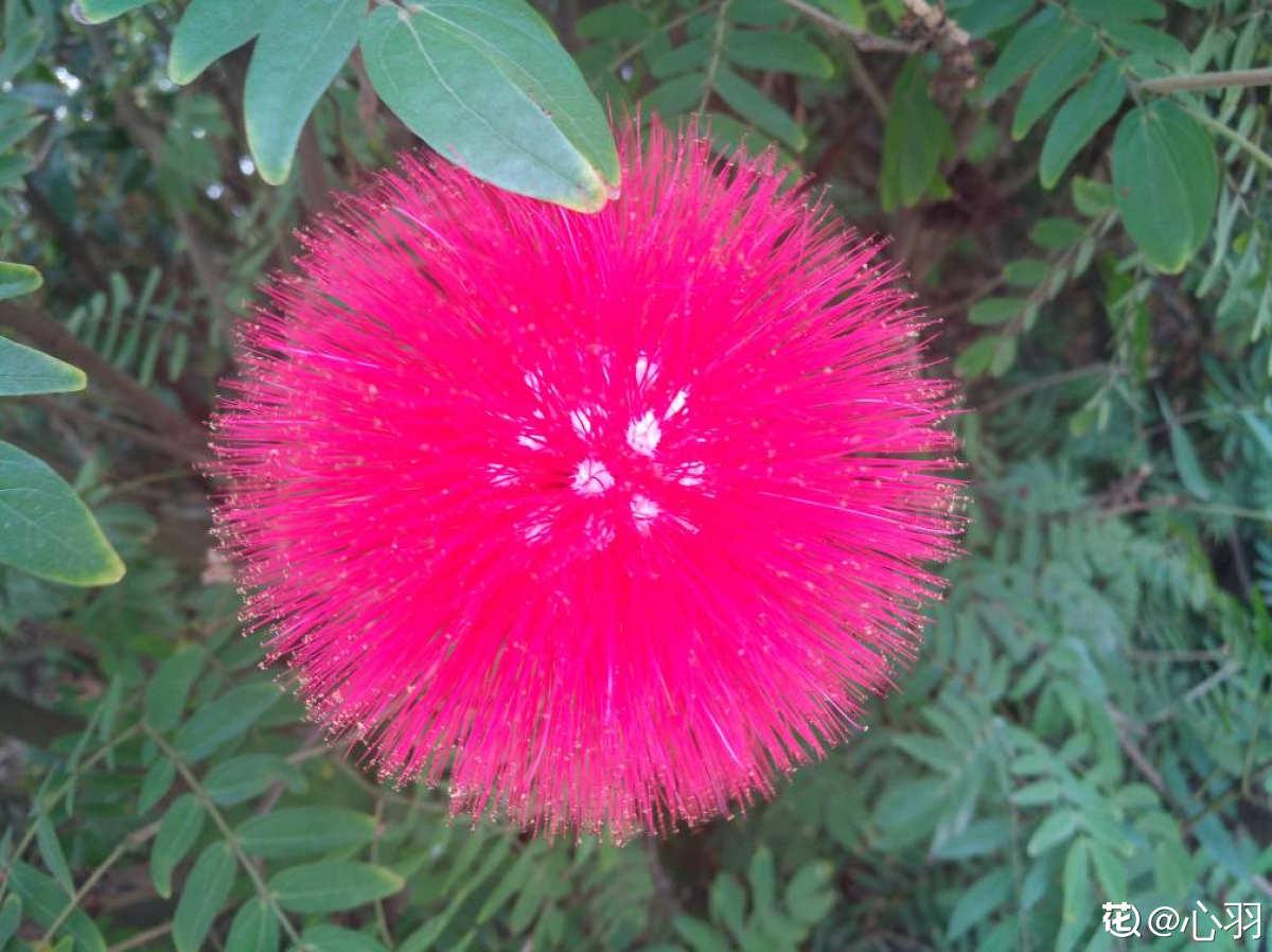 火红的朱缨花