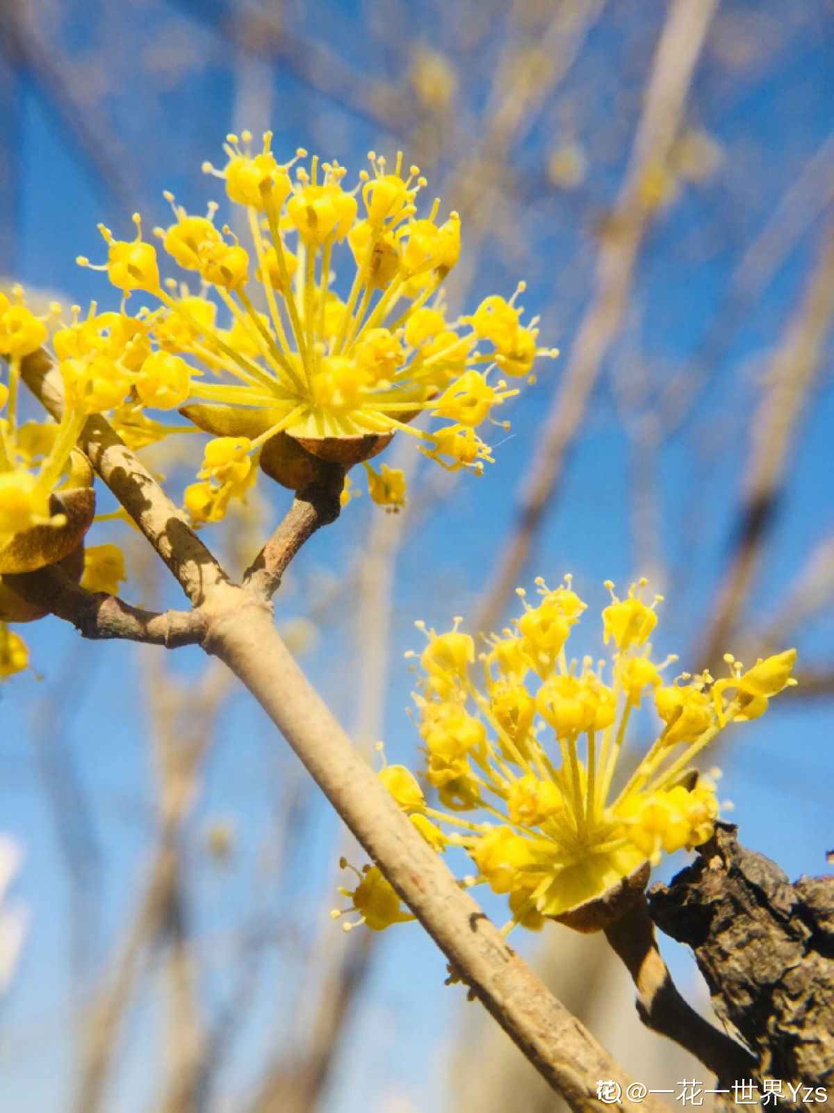 漫山茱萸色金黄