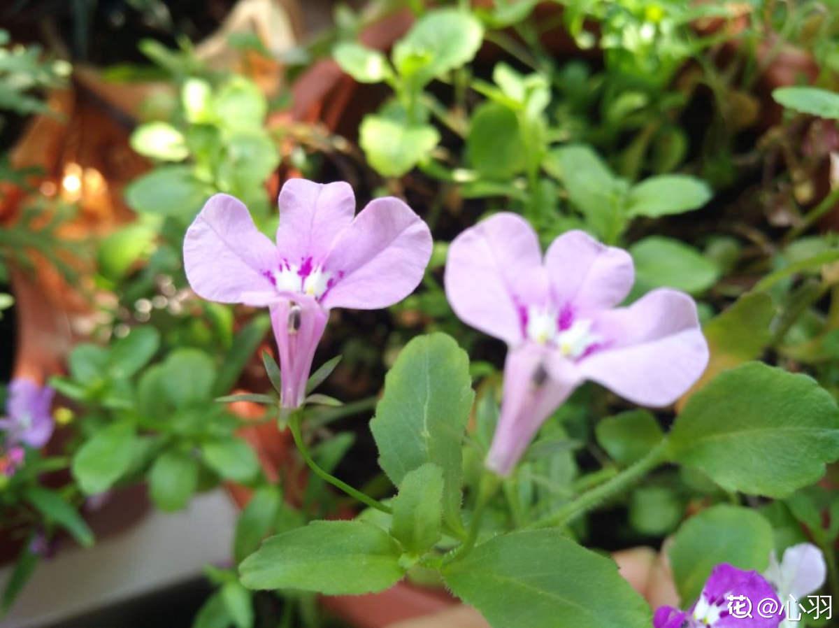 半朵莲花——半边莲