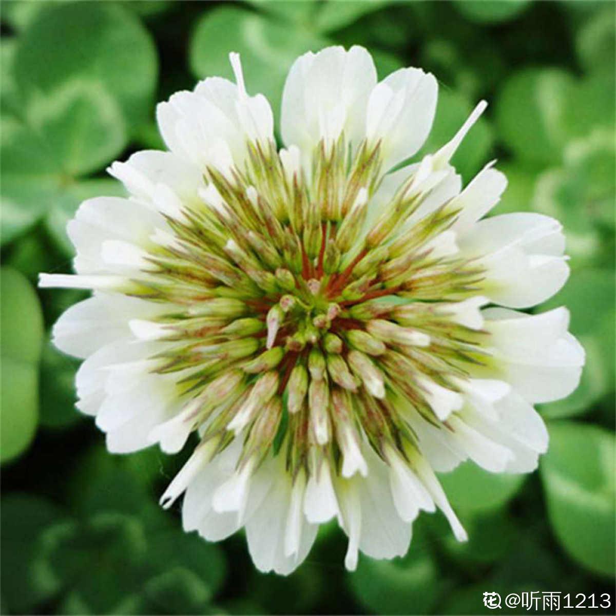 变异的白花酢浆草