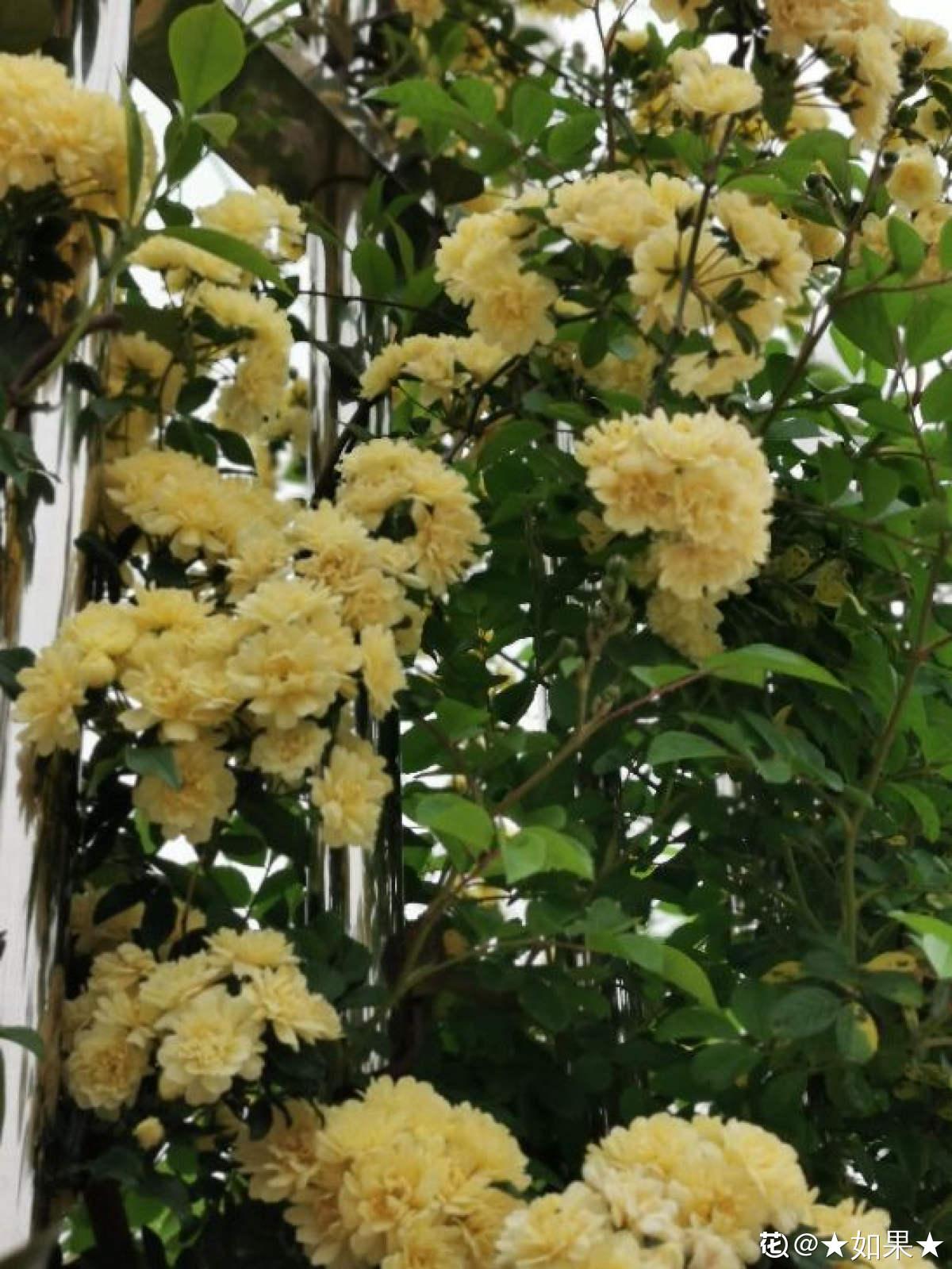 黄中显白的木香花