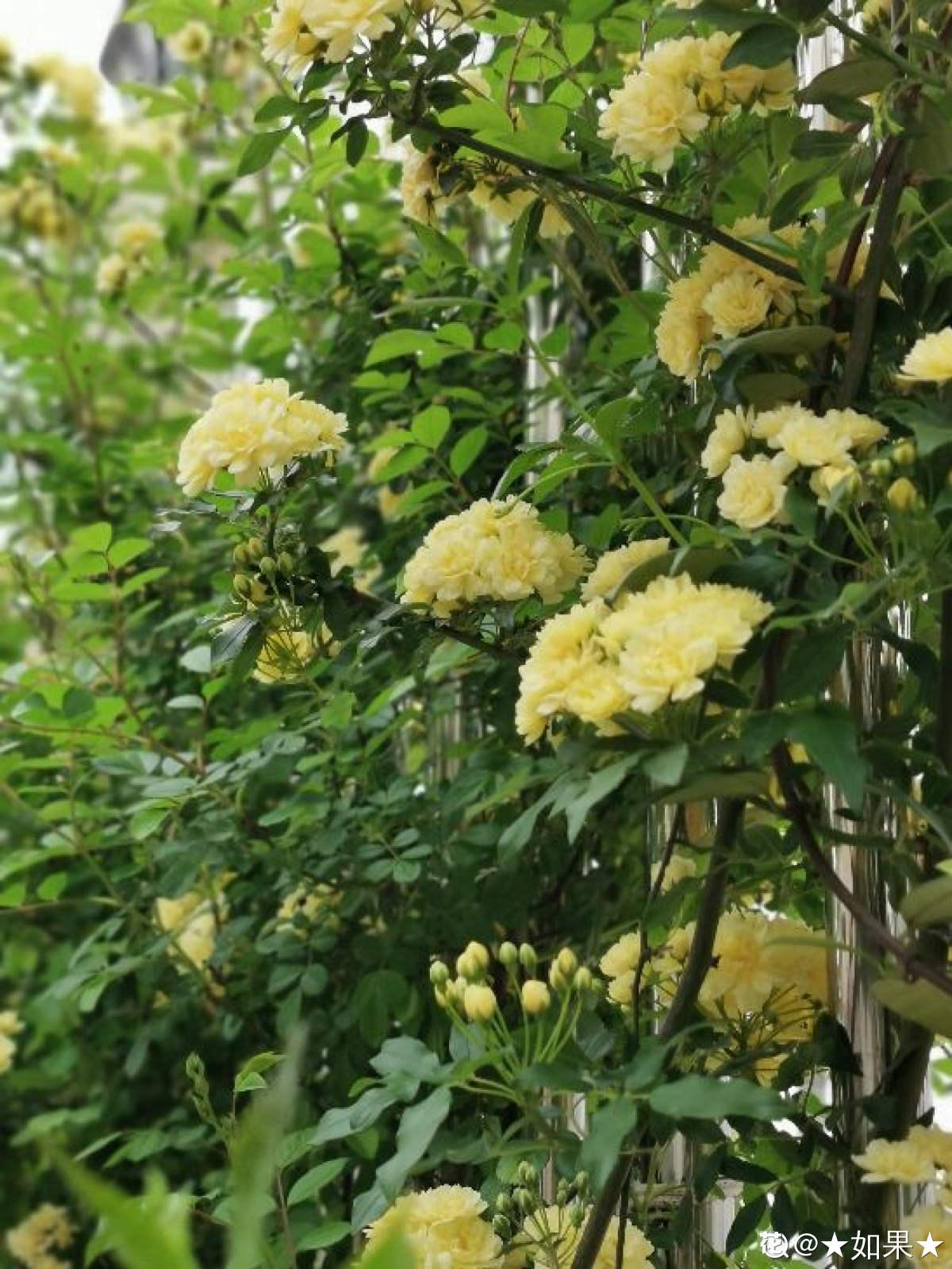 庭院中的黄色木香花