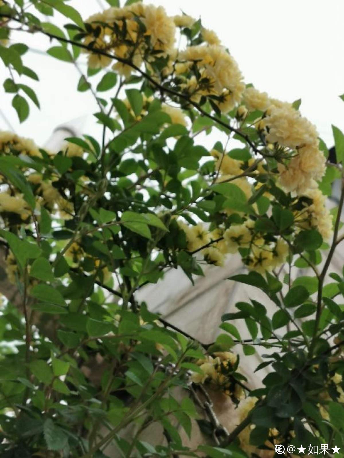 黄色木香花枝条