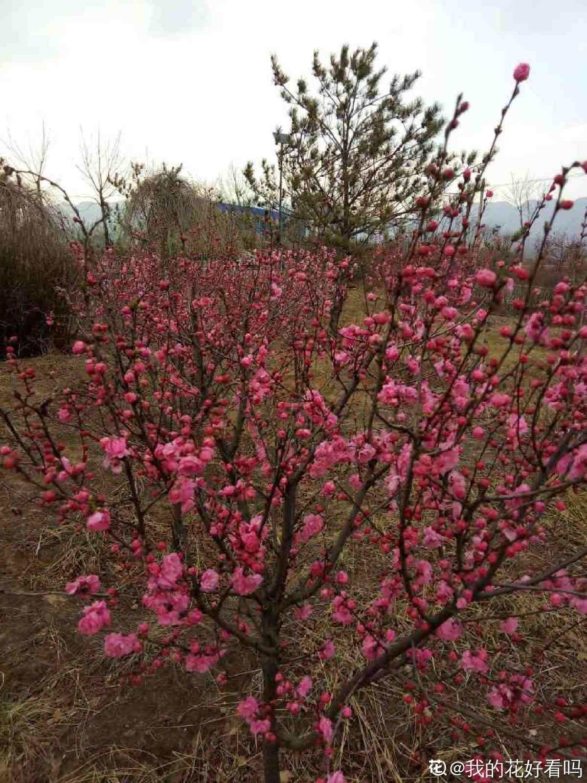 美艳村居足众愿, 随人指点小桃红——榆叶梅