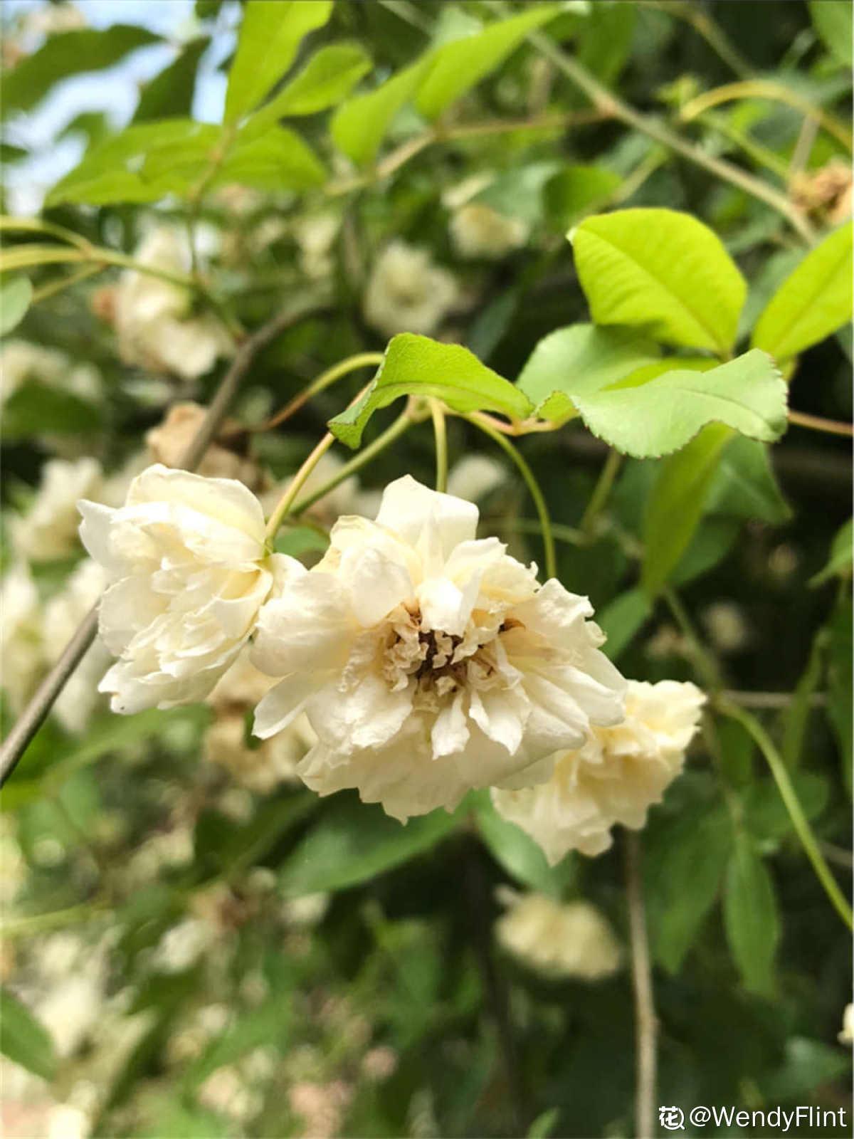 白色木香花