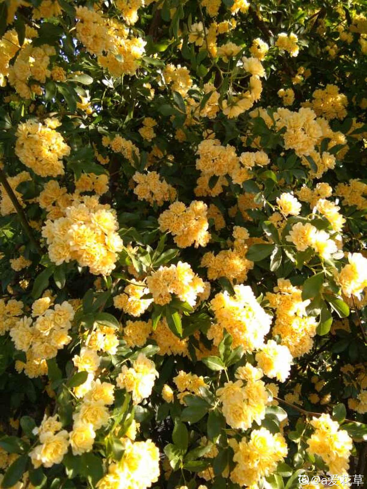 黄色木香花精美图片