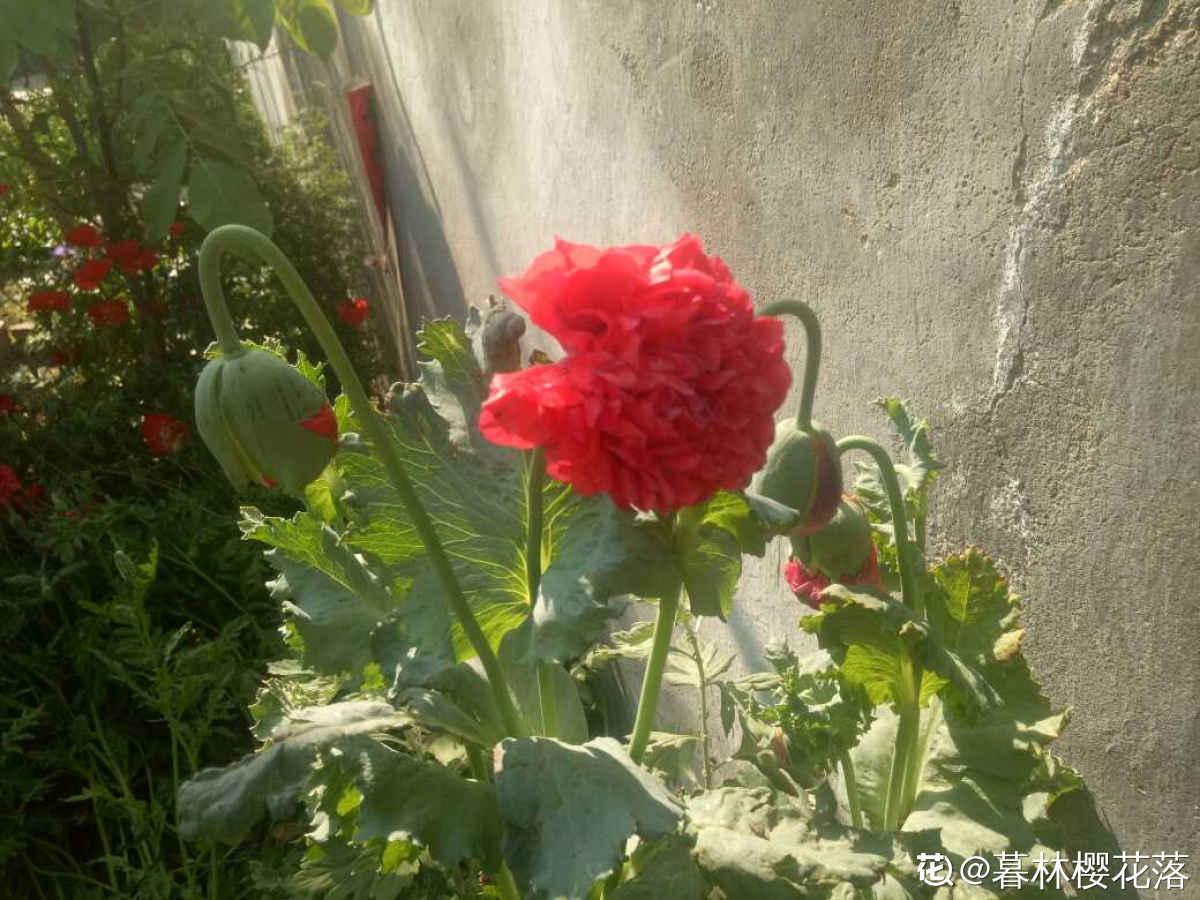 恶之花——罂粟
