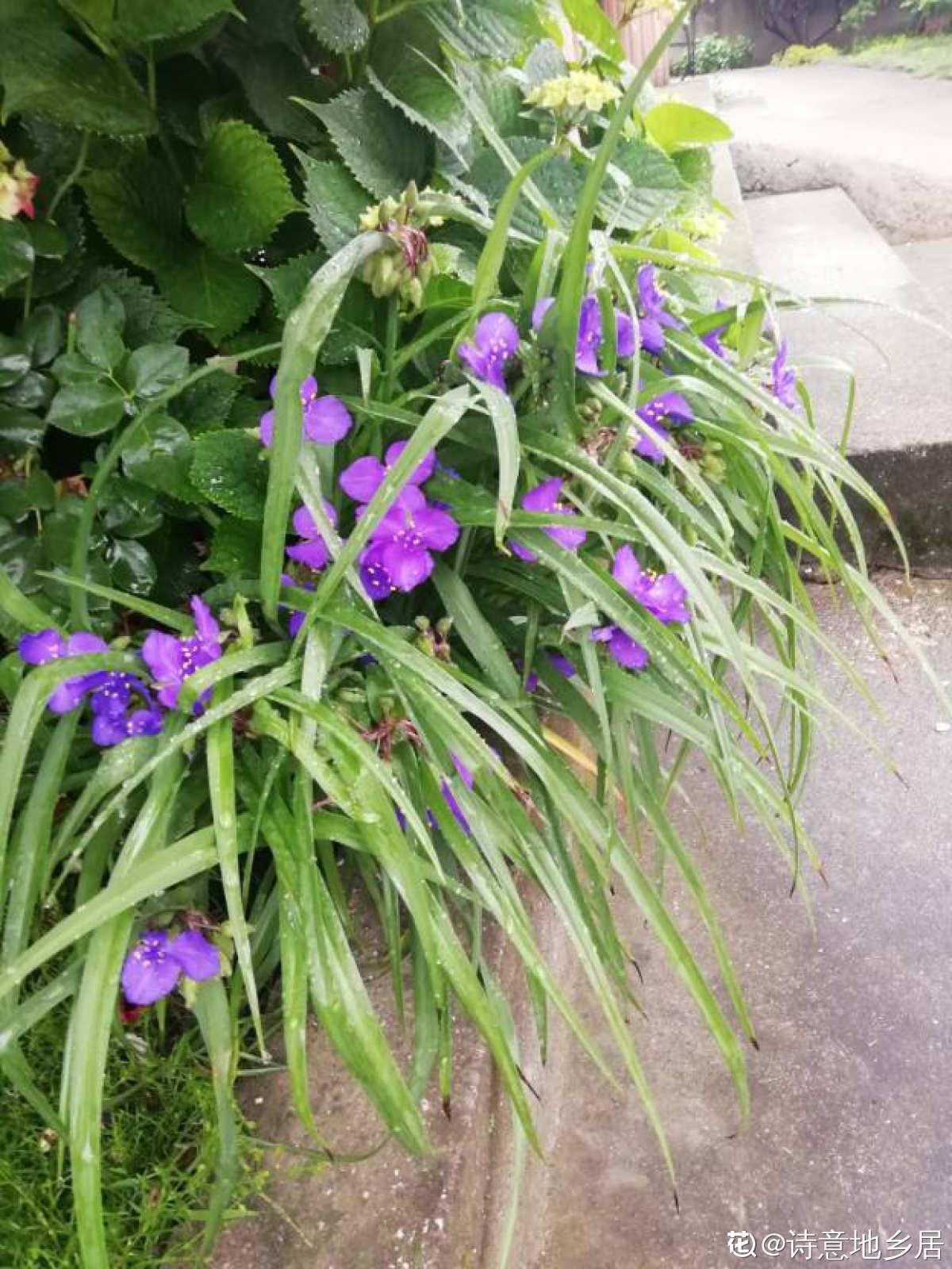 紫露草欣赏