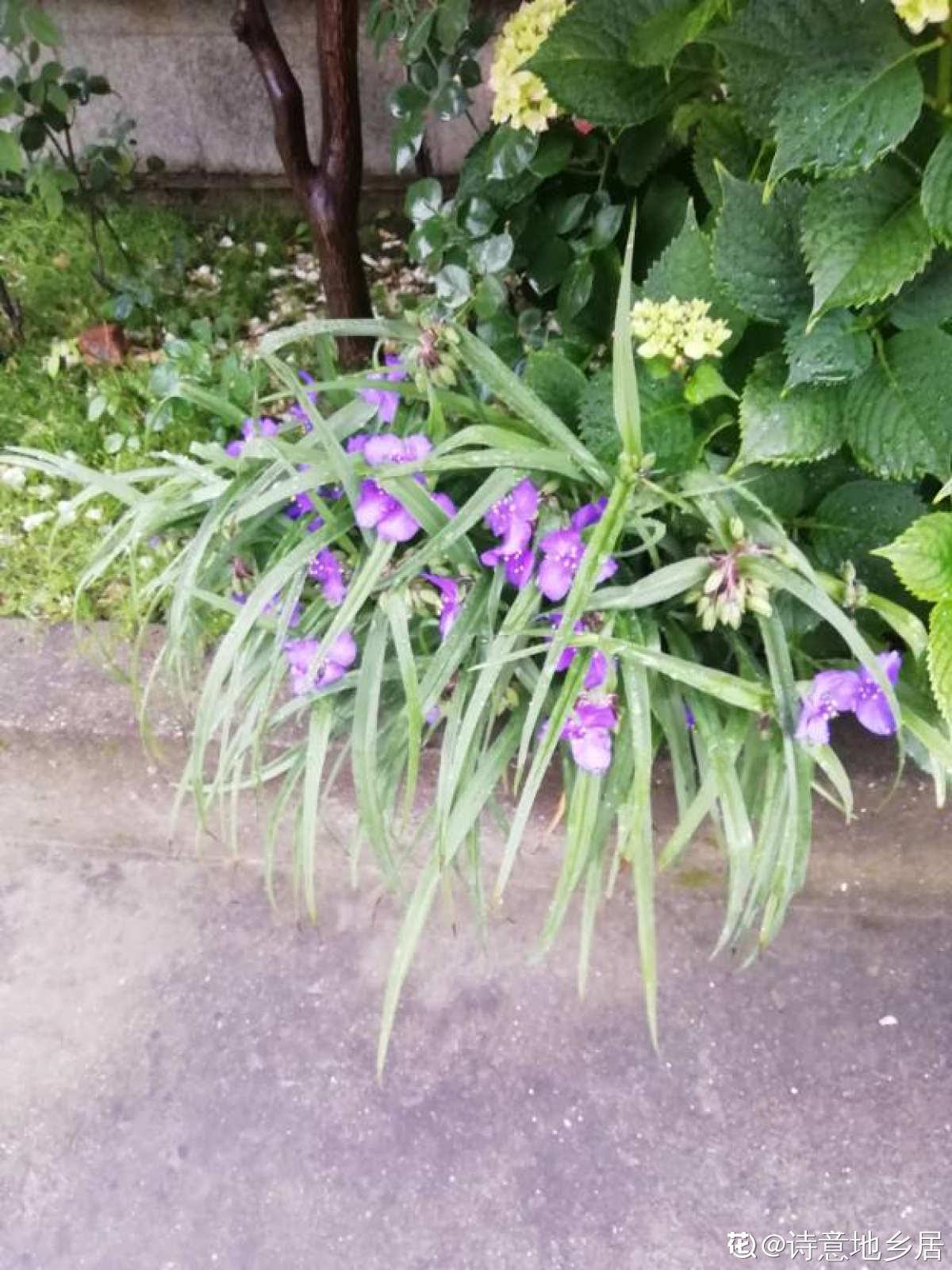 紫露草开花