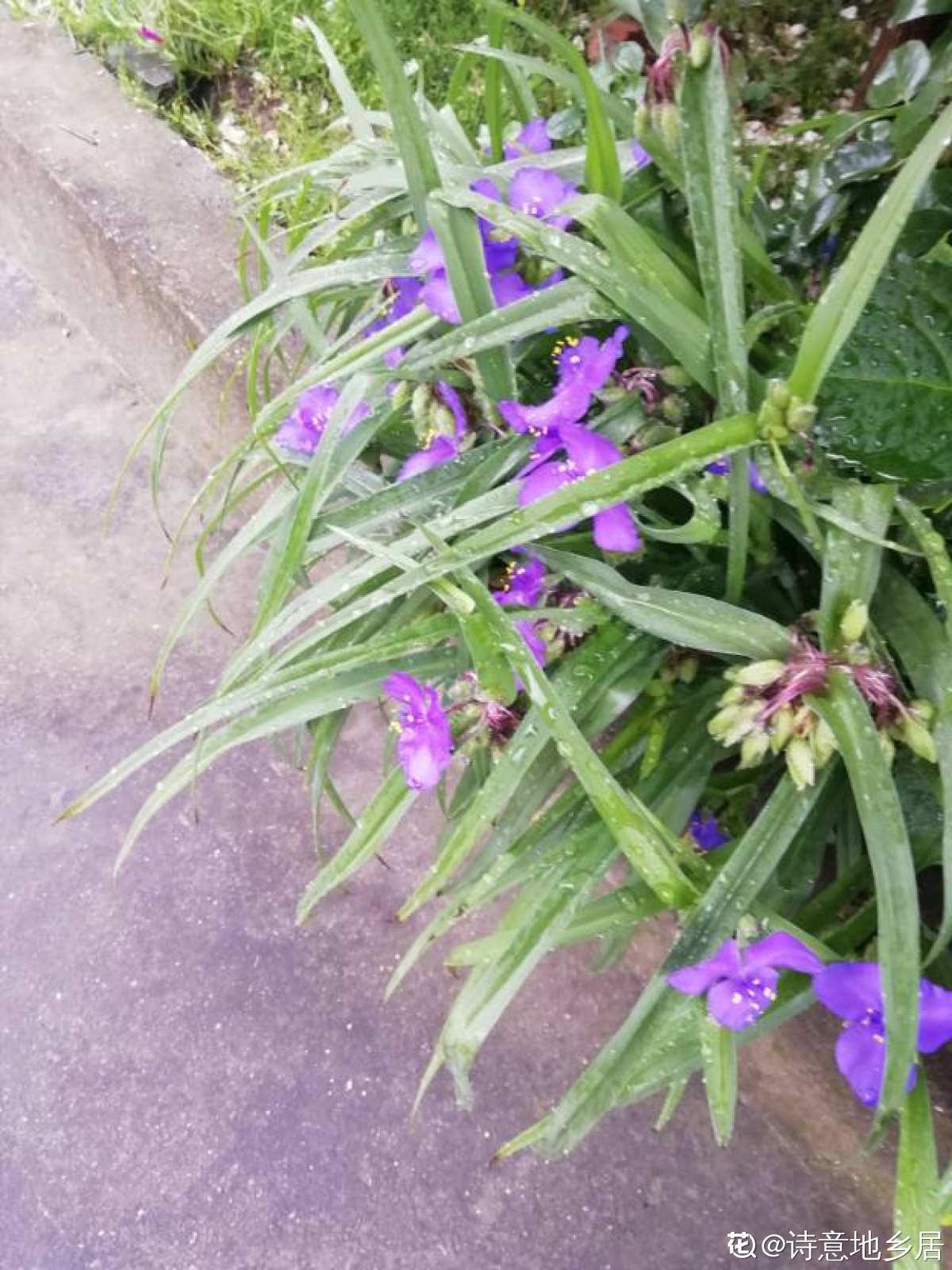 紫露草图片欣赏