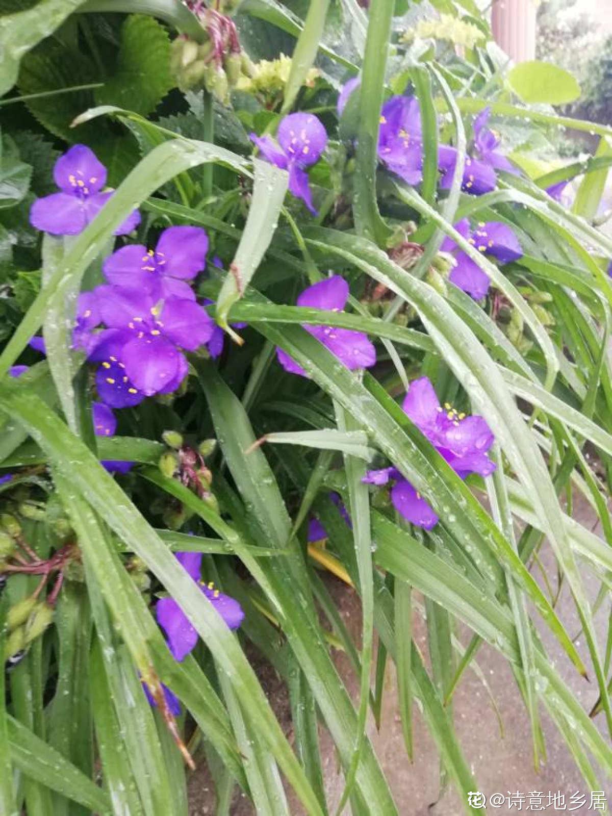 紫露草美图欣赏