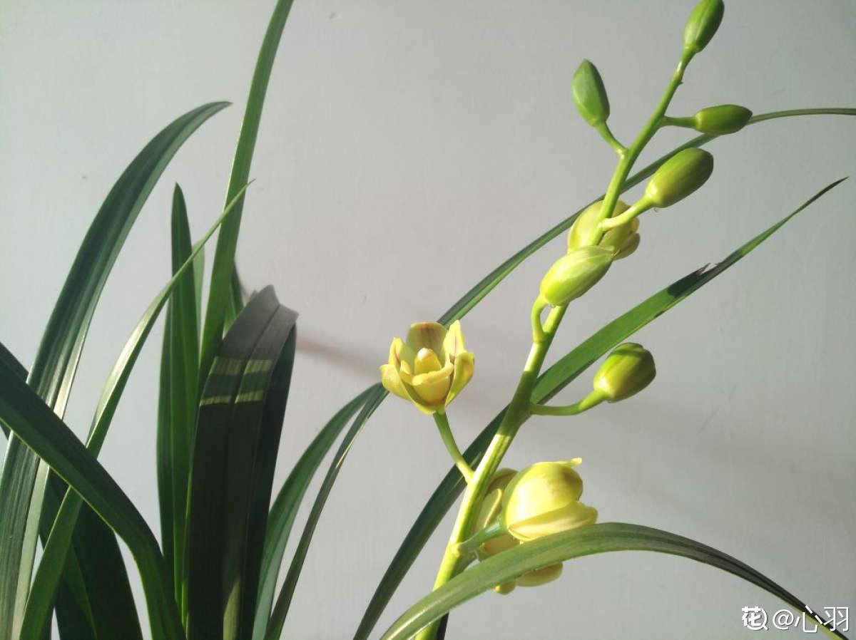 绿宝石开花