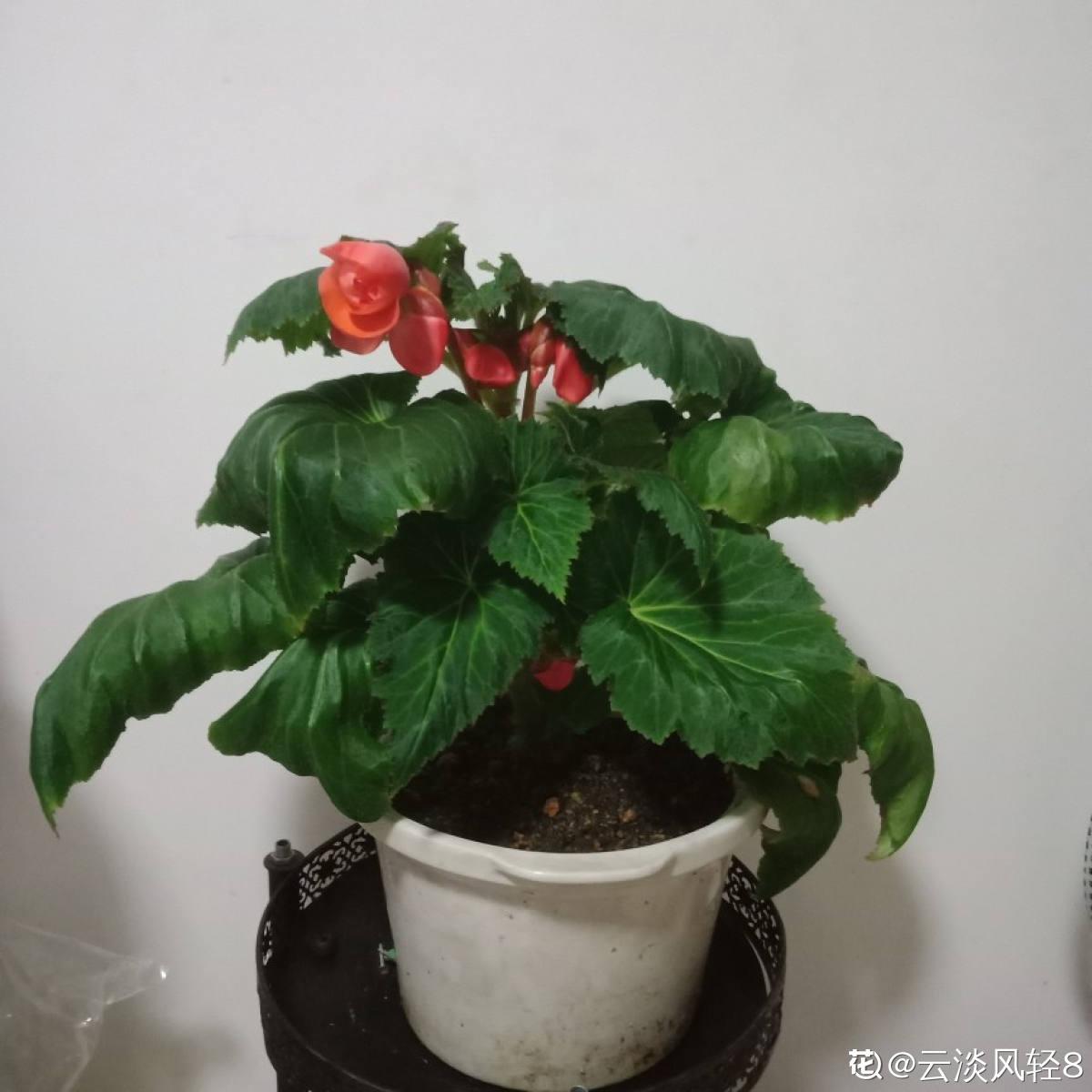 球根海棠美图