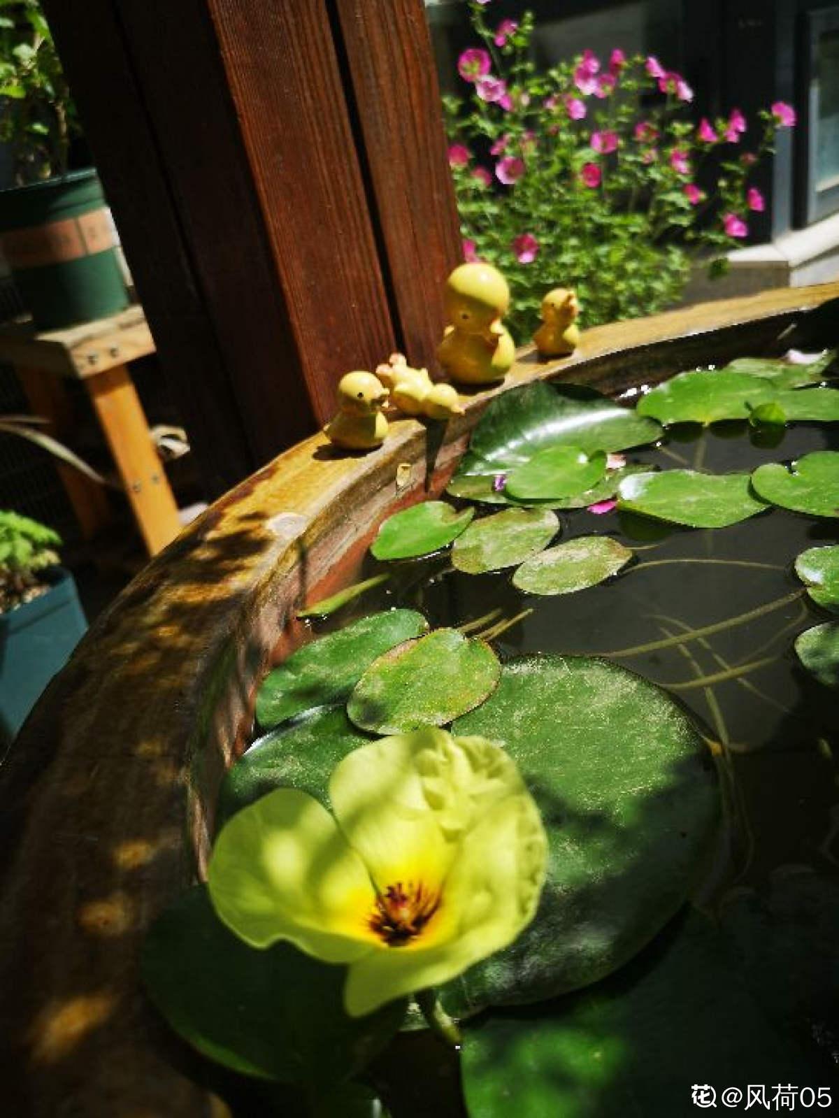 水中的诱惑——水罂粟