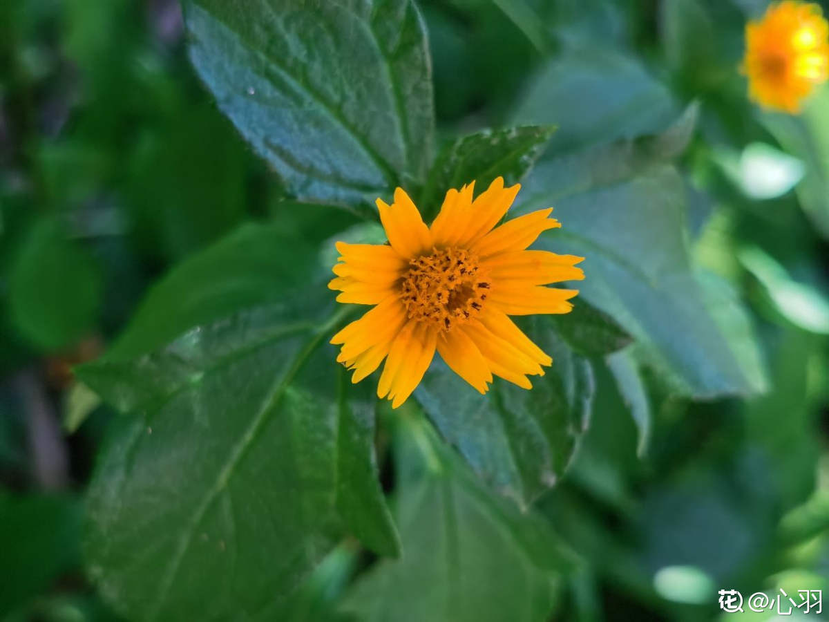 抢镜的蟛蜞菊叶片