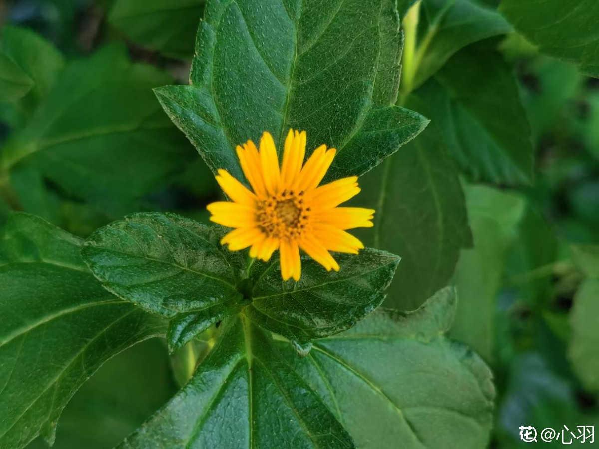 清新的原野黄黄的蟛蜞菊