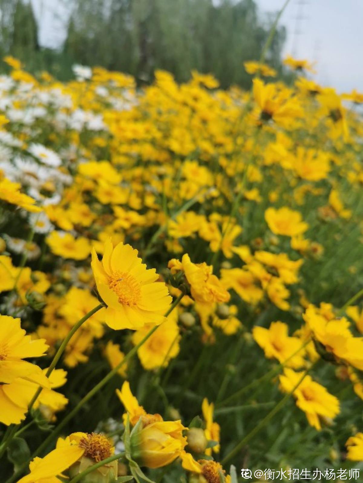 太阳花——大花金鸡菊
