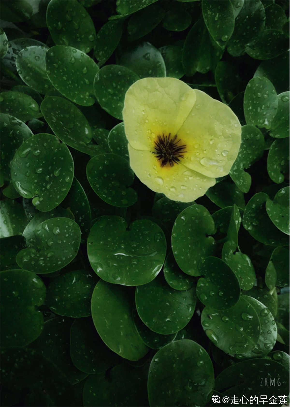 水中罂粟——水金英