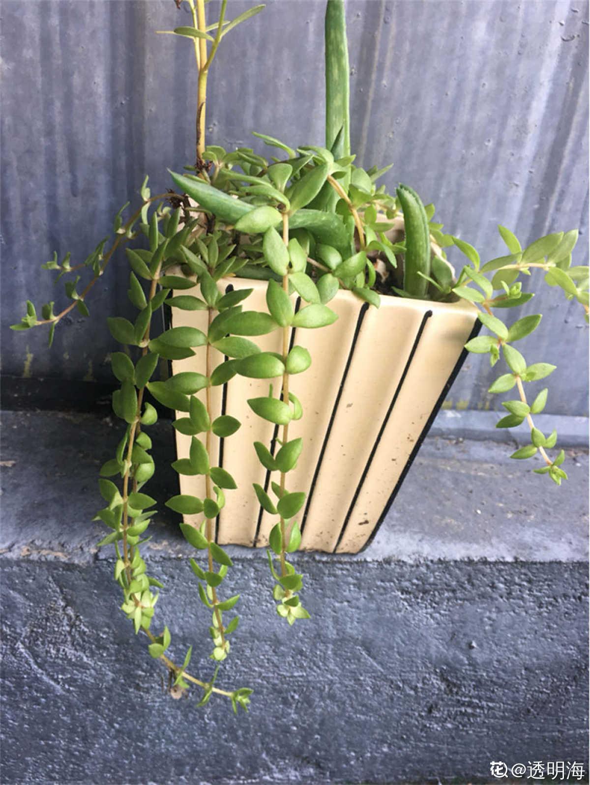 开花了的垂盆草