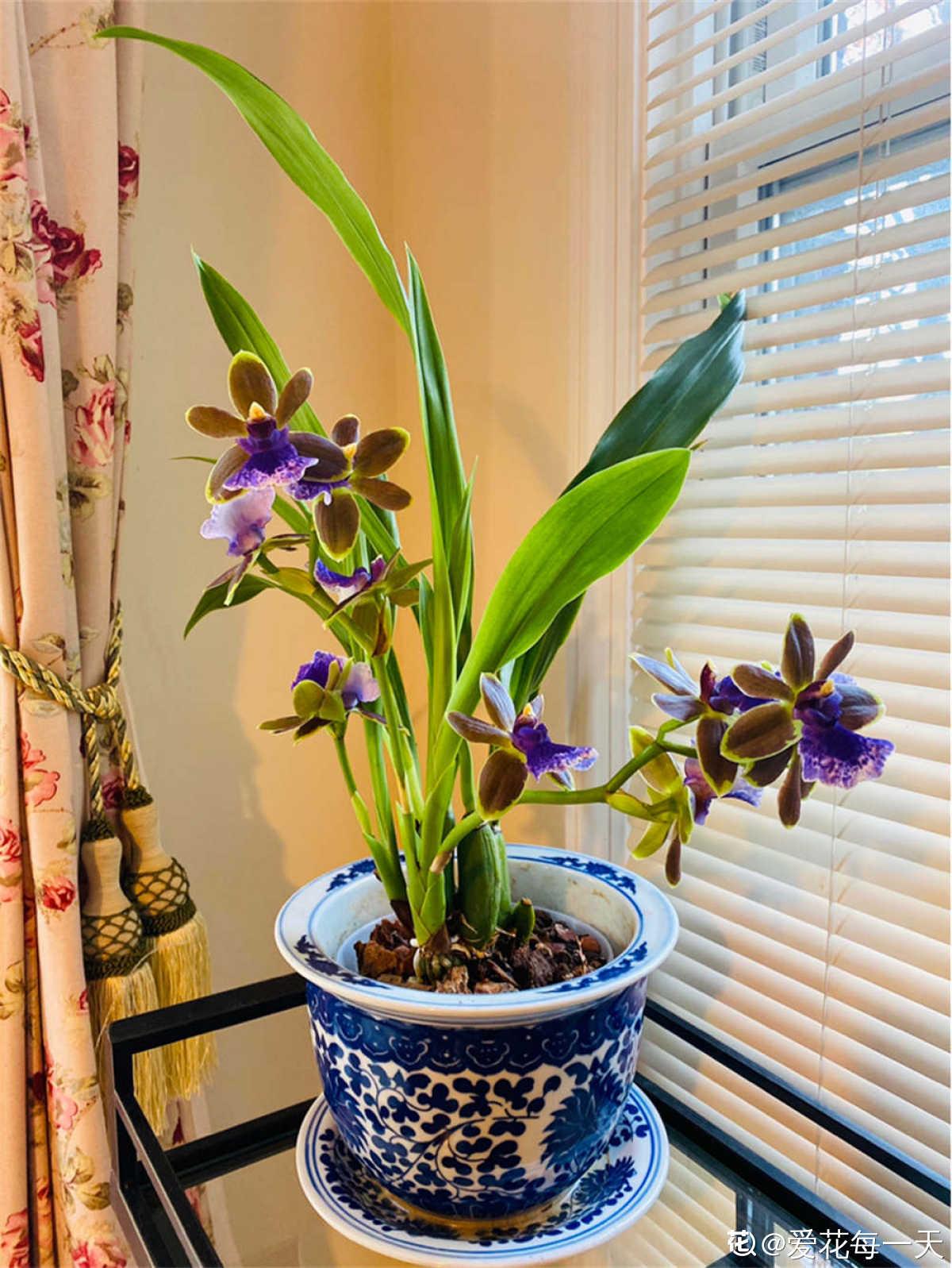 高贵典雅的紫香兰
