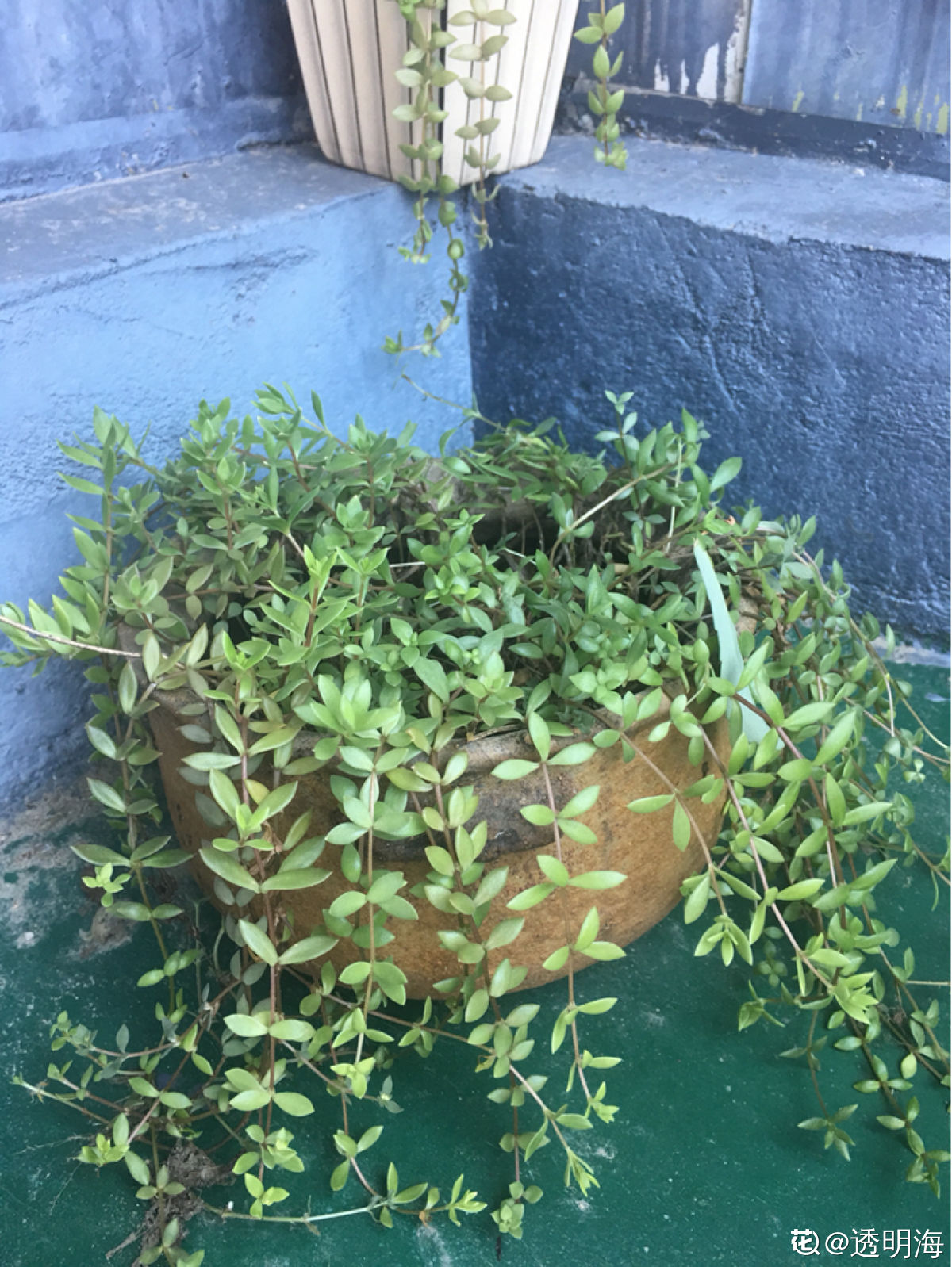 黏在墙上的垂盆草