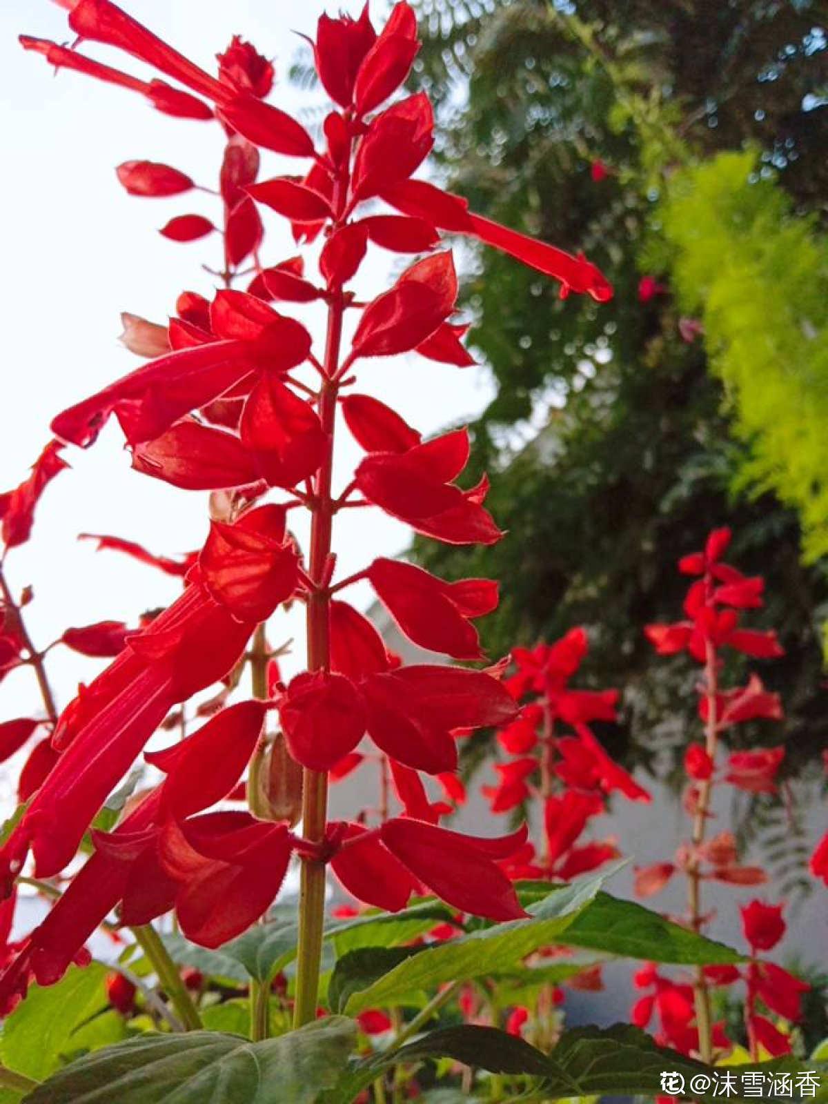 娇艳的一串红