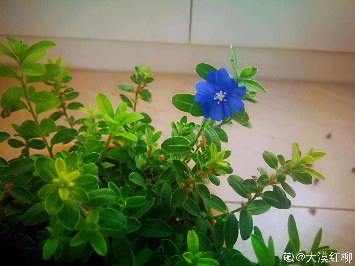 深紫色蓝星花