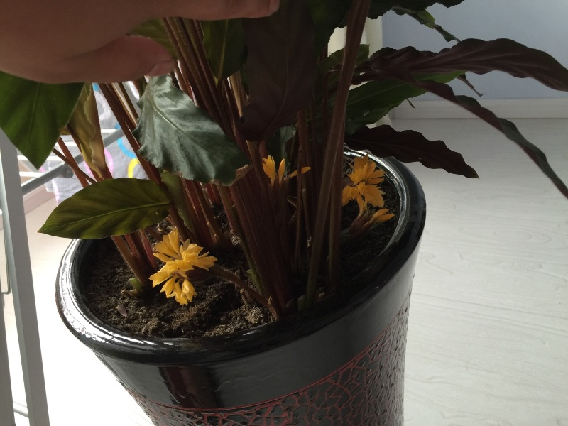 双色世界——紫背竹芋