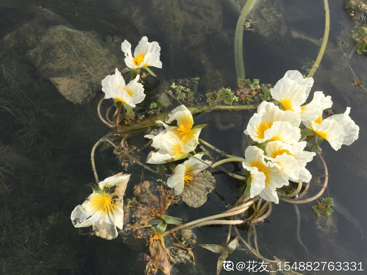 靖西海菜花