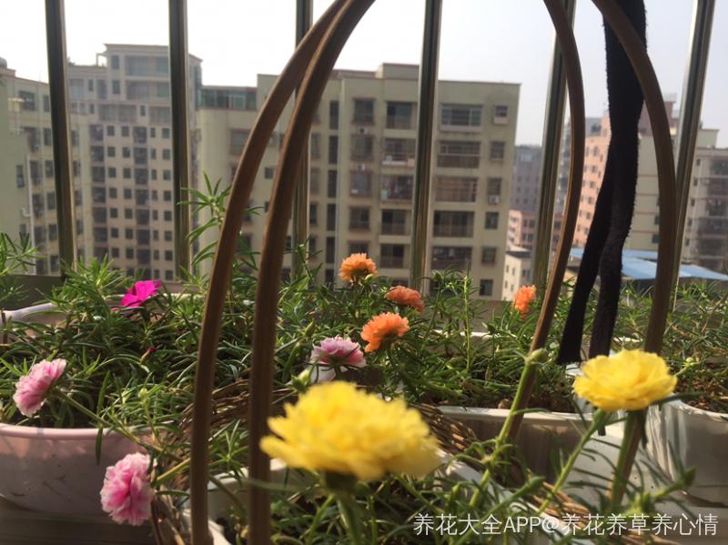 青岛太阳花_南方的太阳花还可以晒一段时间^_^