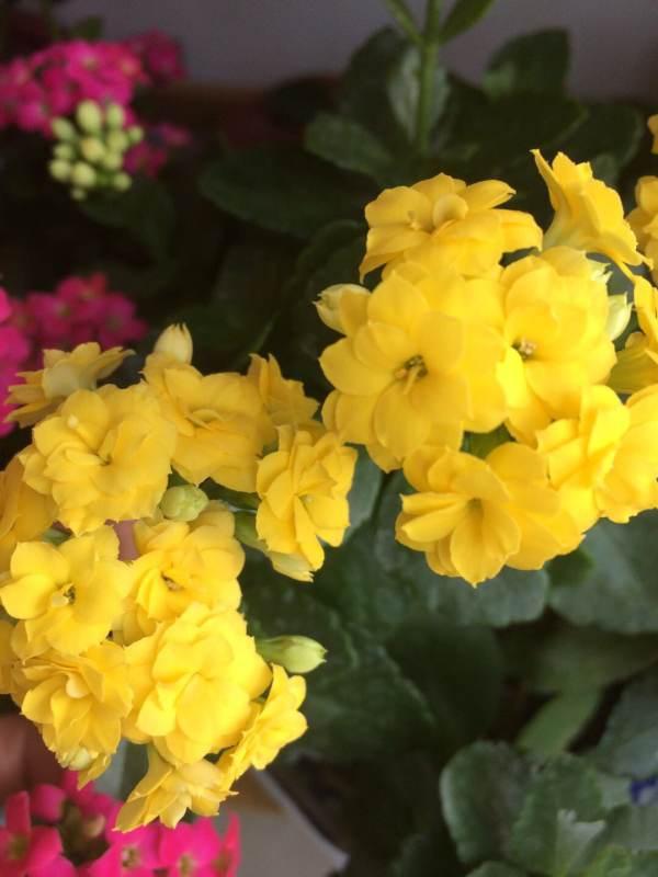 最爱长寿花、喜欢收集各种品种、家里有30多盆、十几个品种、有