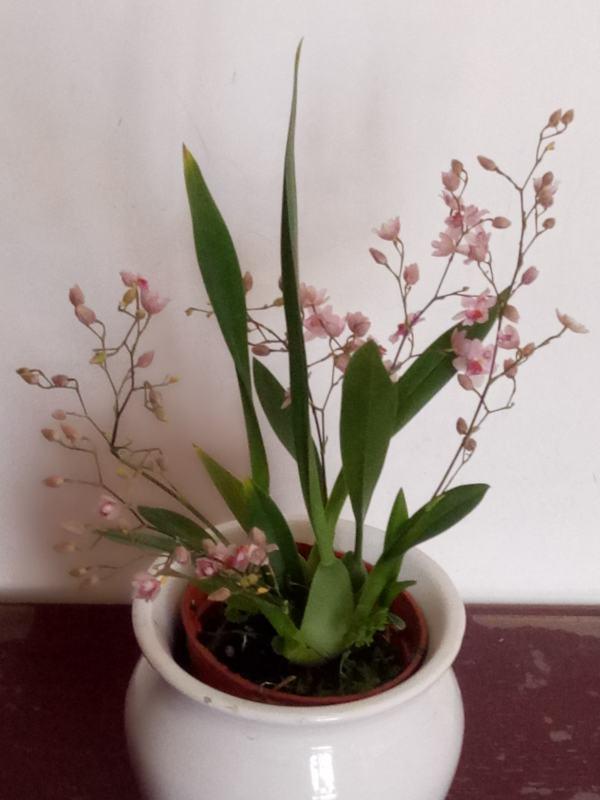 在冬季盛开着清新精致,粉红娇艳的文芯兰。