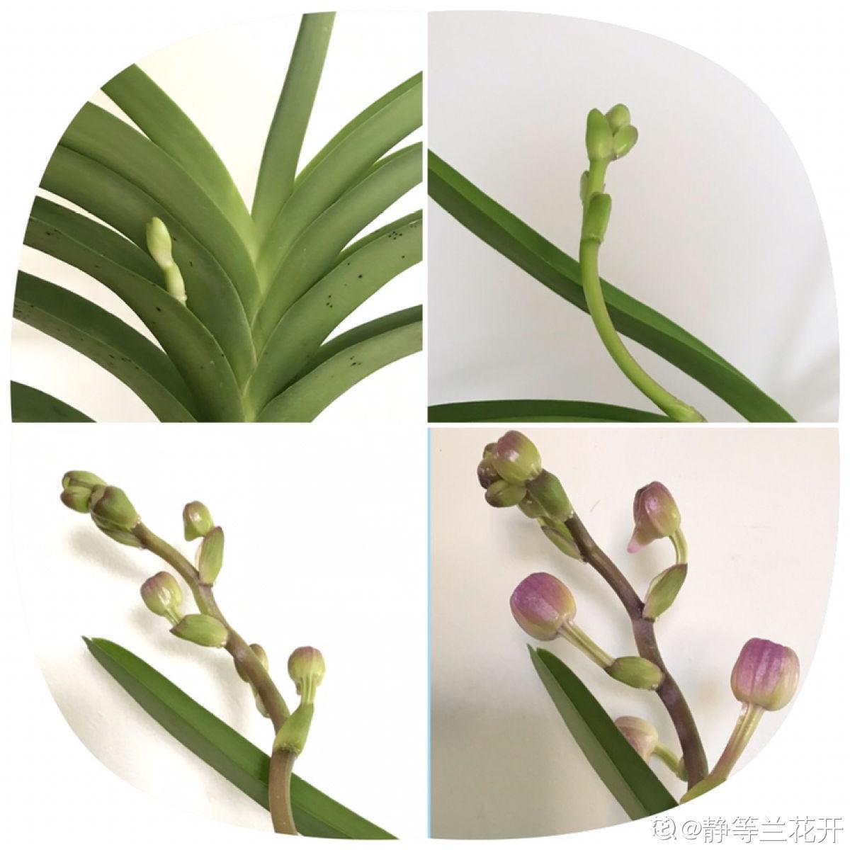挂在树上的兰花——万代兰